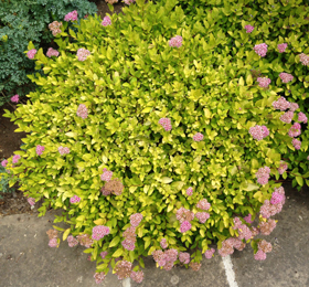 Herb plant.